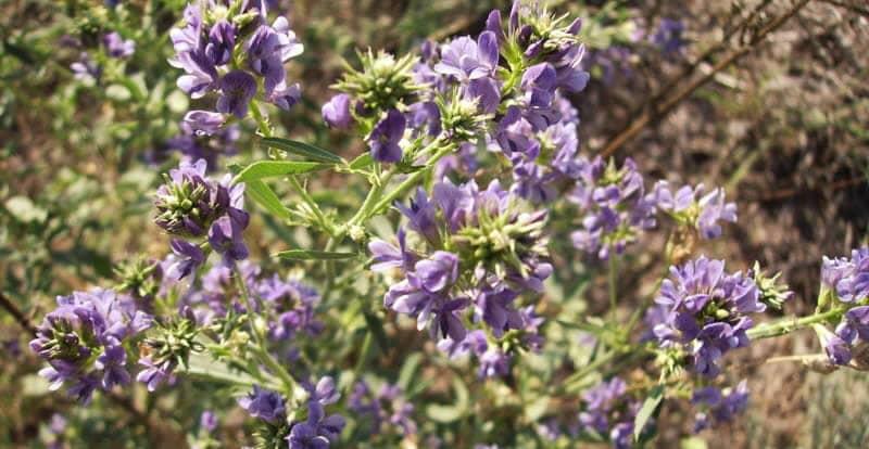 Alfalfa – Autotoxicity