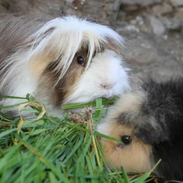 Guinea Pig Information