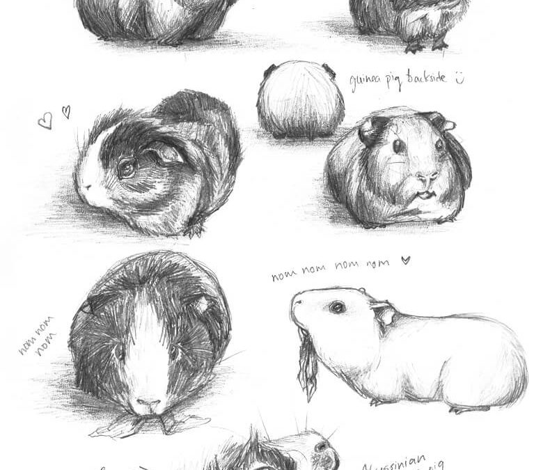"""Drawing Guinea Pigs by """"meh-anne"""""""