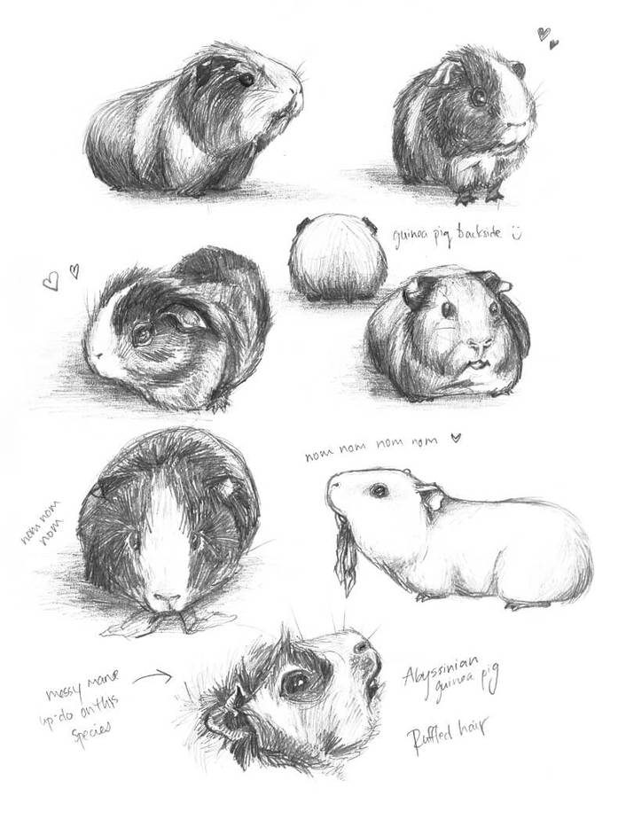 "Drawing Guinea Pigs by ""meh-anne"""