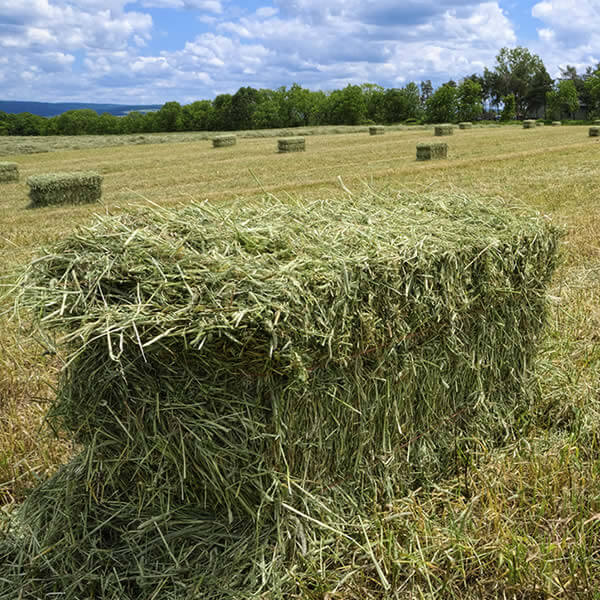 Hay and forage