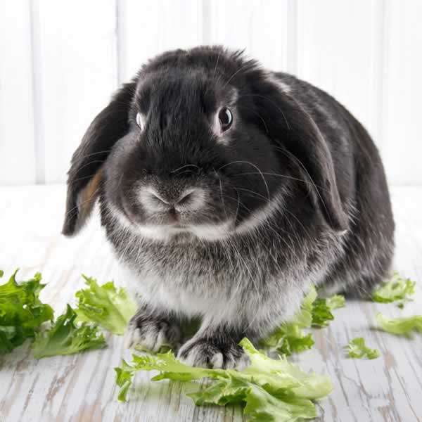 Rabbit Information