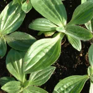 Broadleaf plantain growing in a tray