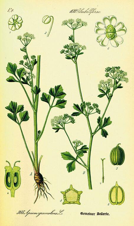 Celery - Apium graveolens