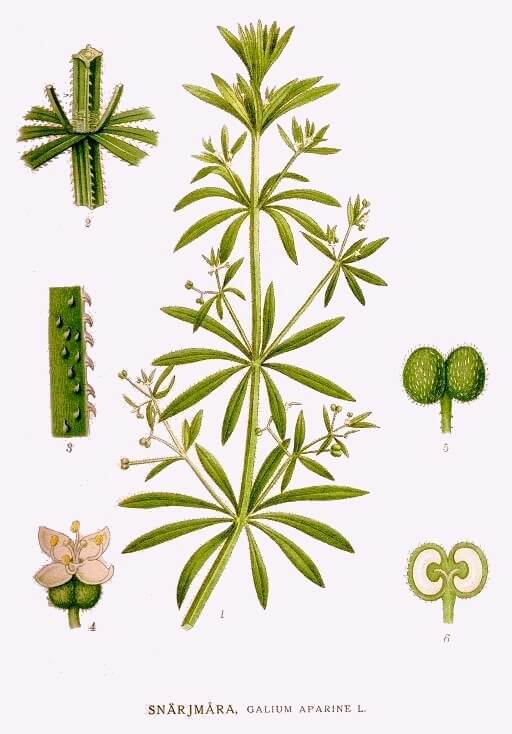 Cleavers - Galium aperine