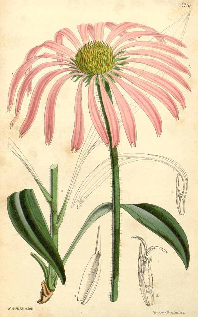 Echinacea - Echinacea augustifolia