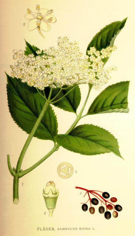 Elderflower - Sambucus nigra