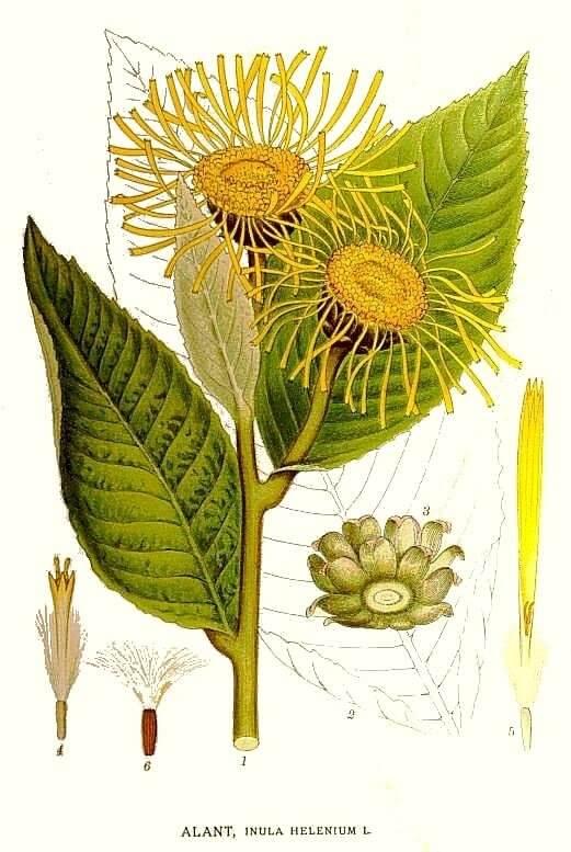 Elecampane - Inula helenium