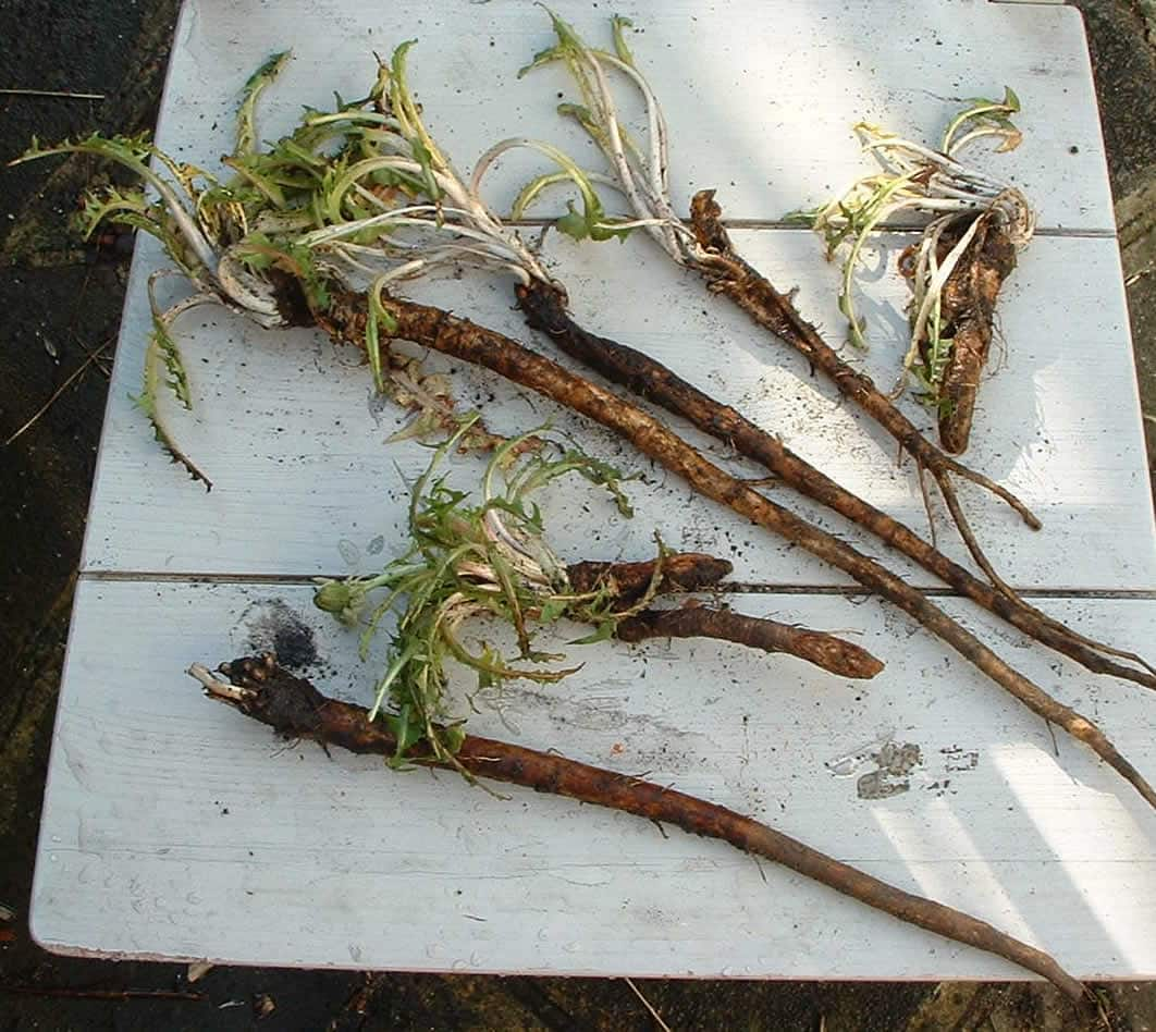 Fresh young dandelion root