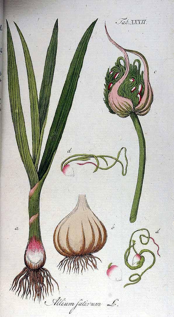 Garlic - Alium sativum