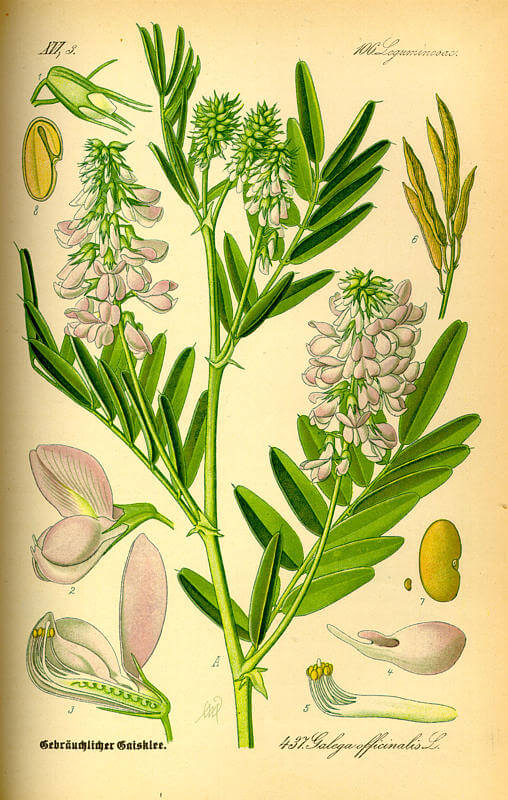 Goats Rue - Galega officinale
