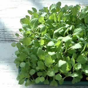 Tray-grown fodder kale