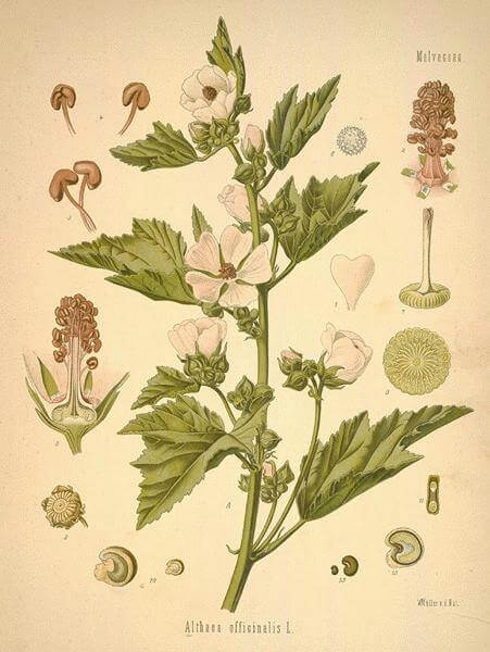 Marshmallow - Althea officinales