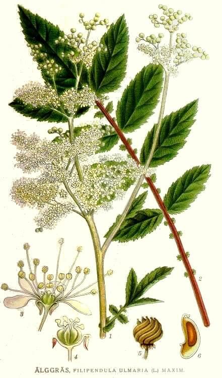 Meadowsweet - Filpendula ulmaria