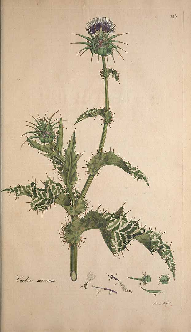 Milk Thistle - Carduus marianus
