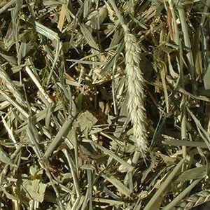 Mixed Cereal Grass Forage