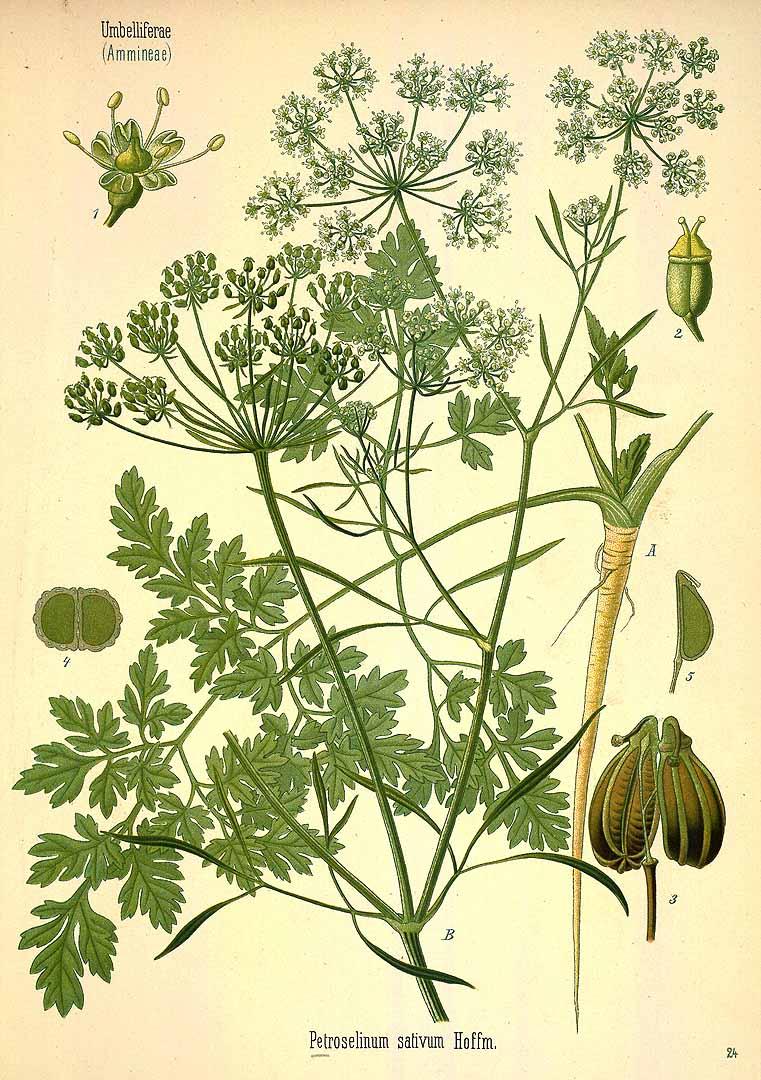 Parsley - Petroselinum crispum