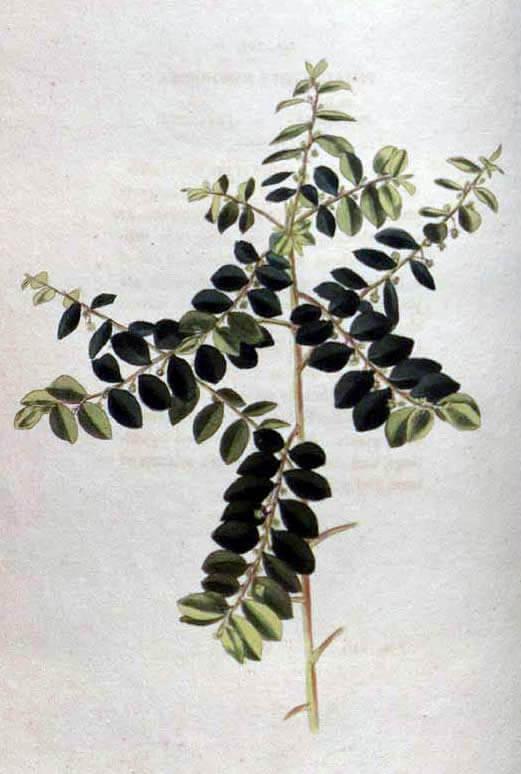 Phyllanthus niruri