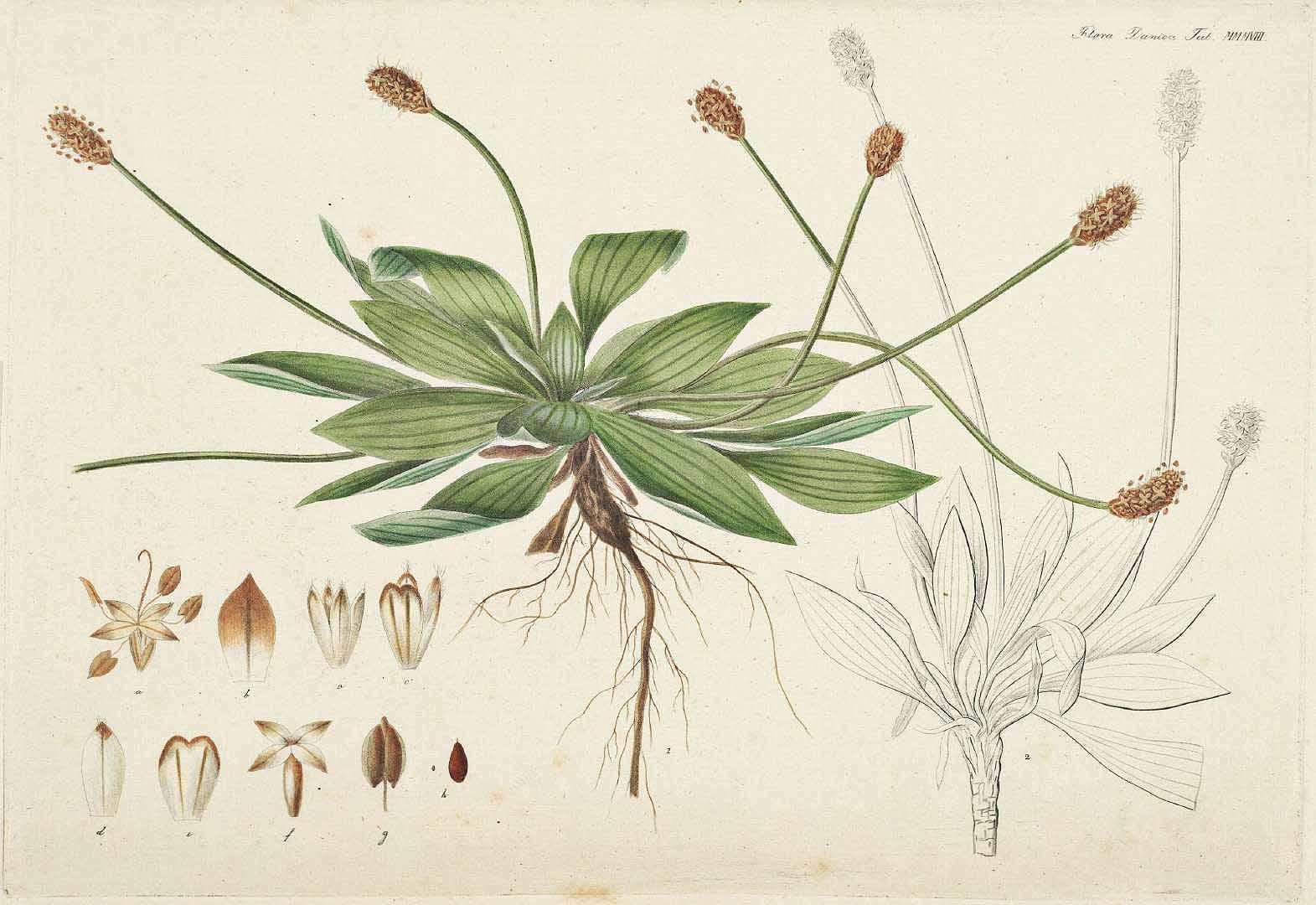 Plantain - Plantago lancelota