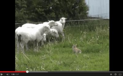 Rabbit Herding Sheep