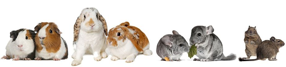 rabbits-guinea-pigs-chinchillas-degus