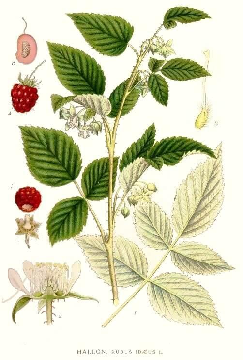 Raspberry Leaf - Rubus ideaus
