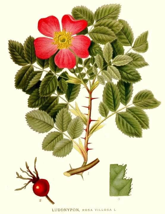 Rosehip - Rosa canina