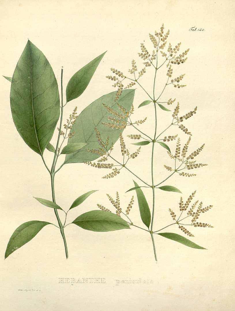Suma - Pfaffia paniculata
