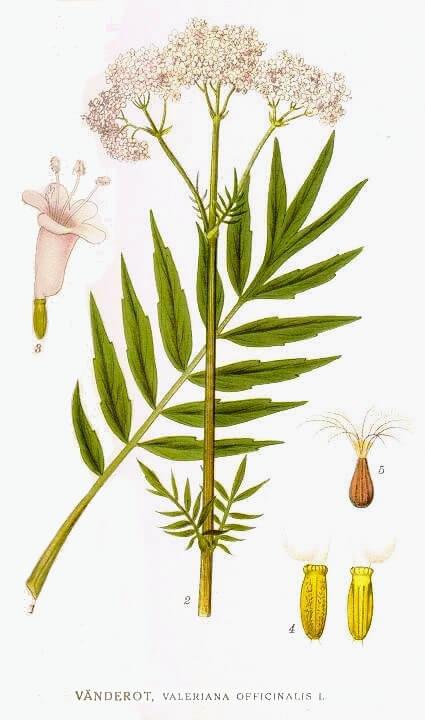 Valerian – Valeriana officinalis