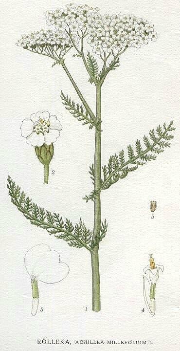 Yarrow - Achillae millefolium